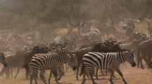 Herds Of Wildebeest And Zebras Gather