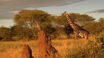 Giraffe Walks Behind Bird On Termite Mound