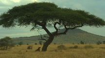 Lion Walks Through Grass, Joins Another Asleep In Tree