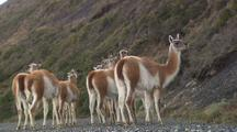 Small Herd Of Guanacos