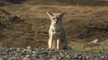 South American Fox Looks At Camera