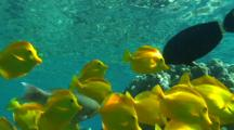 School Of Yellow Tangs And Other Reef Fish