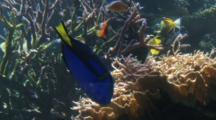 Blue Tang And Other Reef Fish