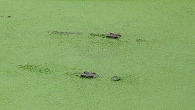 crocodile floating in the lake among the green slime, 4k