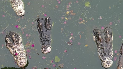 Heads of old crocodiles in lake, 4k