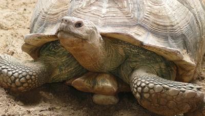 big turtle closeup portrait, 4k
