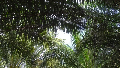 Coconut palm leaves background, 4k