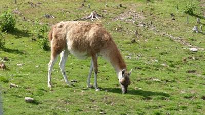 Lama guanaco grazing on meadow, 4k