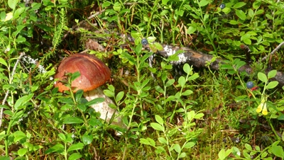 boletus mushrooms and blueberries in the northern forest, Karelia, 4k