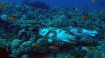 Brown Marbled Grouper Doing Mating Dance