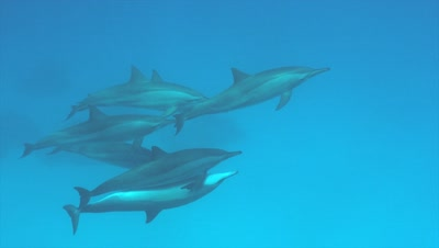 Bottlenose dolphins mating at Sataya Reef