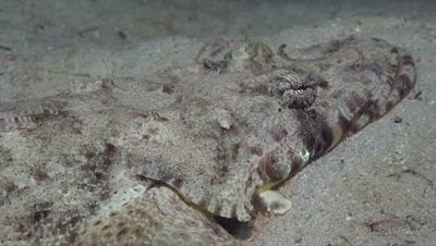 Crocodilefish breathing, close up