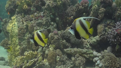 Pair of moorish idols swimming along coral reef