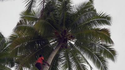 Local climbing coconut palm tree