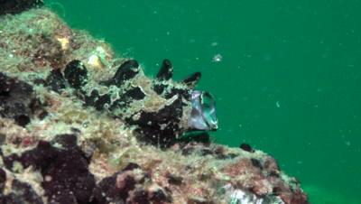 Black frogfish yawning