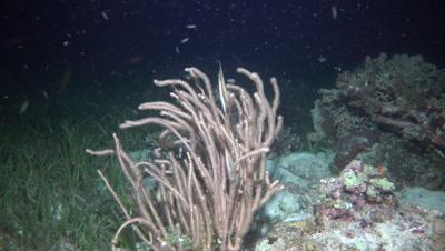 Razorfish in soft coral at night