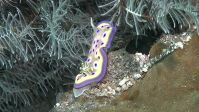 Chromodoris flapping in current