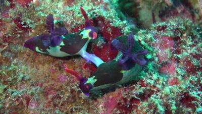 Nudibranches mating