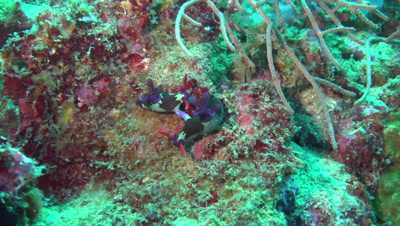 Wide angle of nudibranches mating