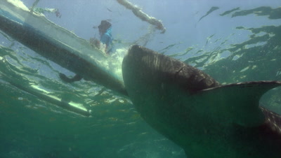 Whale shark being fed by Philippine fisherman in Oslob