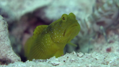 Yellow goby watching out while shrimp cleans burrow