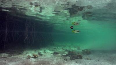 Archerfish swims in mangrove