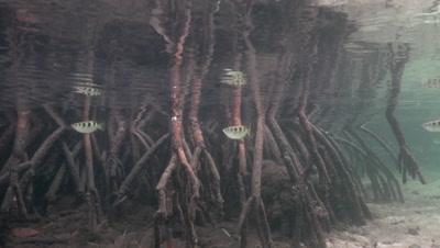 Pair of Archerfish swimming through mangroves
