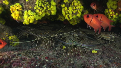 Group of crayfish with some big eye squirrelfish and hiding in their hole