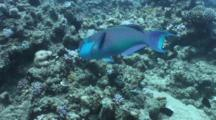 Parrotfish Feeding On Reef