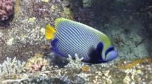 Reveal Shot Of Emperor Angel Fish