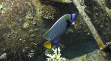 Overhead Shot Of Emperor Angel Fish