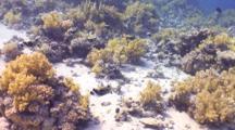 School Of Masked Puffer Fish Swim Past Camera