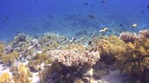 School Of Masked Puffer Fish Swimming Away From Camera