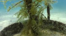 Fuzzy Ghost Pipefish Blends In With Hydroids