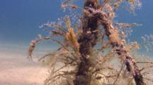 Fuzzy Ghost Pipefish Blends In With Hydroids On Anchor Line