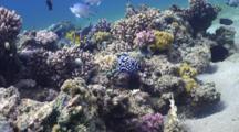 Juvenile Emperor Angel Fish Over Coral Reef