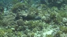 Red Sea Coral Grouper Swims From Left To Right
