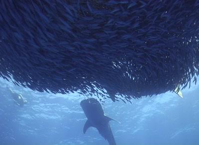 Two Whale Sharks Under Sardine Baitball