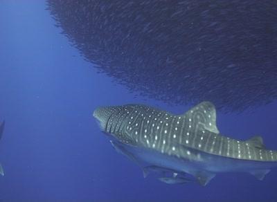 Whale Shark Swims Past With Sardine Baitball Behind