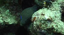 Giant Moray Eel With Cleaner Wrasse