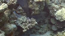 Giant Moray Swims Underneath