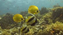 Masked Butterflyfish And Redsea Bannerfish Over Reef
