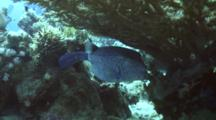 Large Adult Yellow Boxfish Under Table Coral