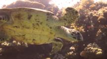 Hawksbill Turtle Over Reef