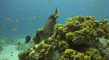 Lyretail Grouper Swims Around Cabbage Coral