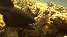 Moray Eel In Reef