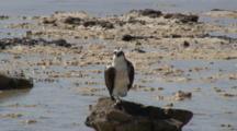 Osprey On Rock