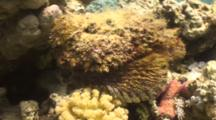 Stonefish On Reef