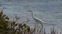White Heron In Shallows Hunting