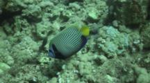 Emperor Angelfish Swims Along Reef